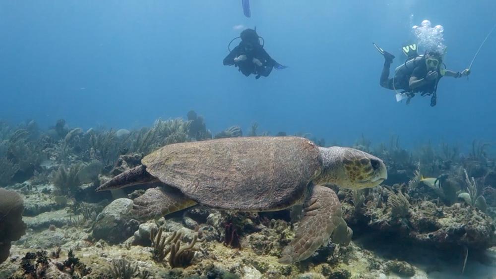 curiosidades de la tortuga boba - 4