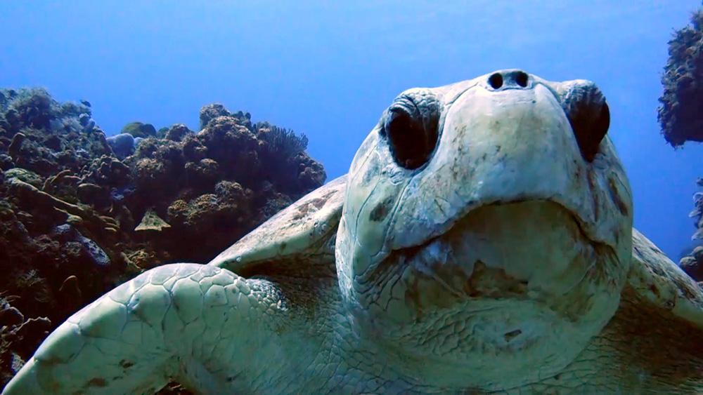 curiosidades de la tortuga boba - 5