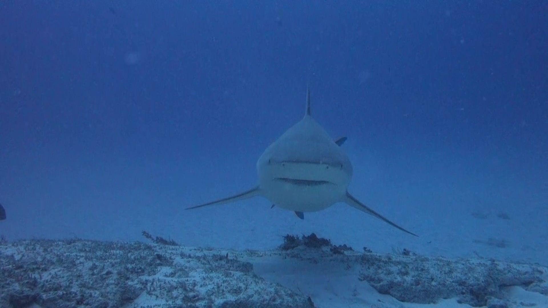 curiosidades sobre los tiburones toro -2