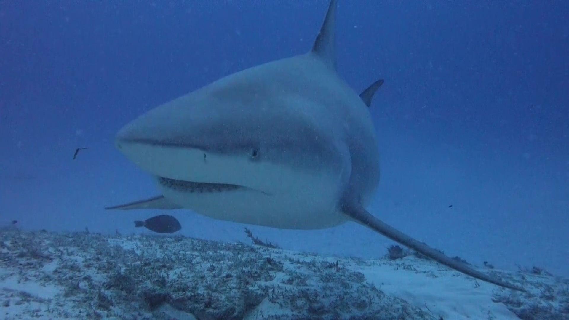 curiosidades sobre los tiburones toro -4