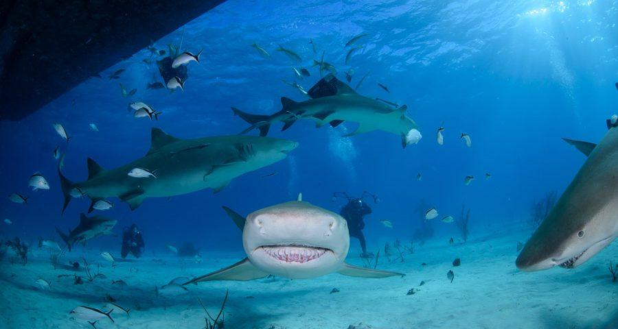 curiosidades sobre los tiburones toro