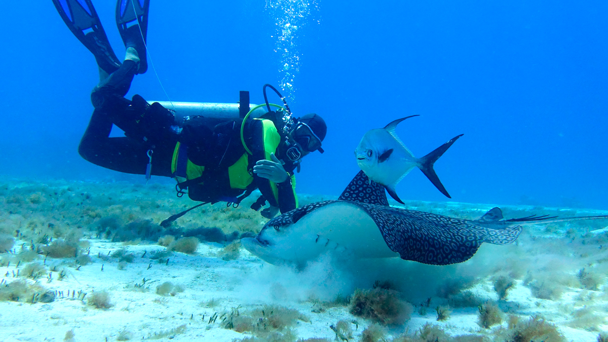 drift diving eagle ray