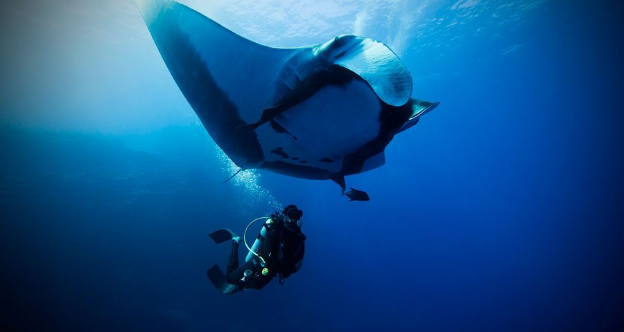 flying after diving - manta