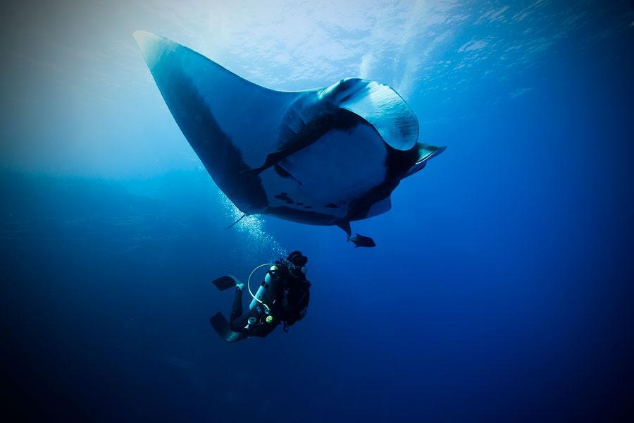 flying after diving - manta