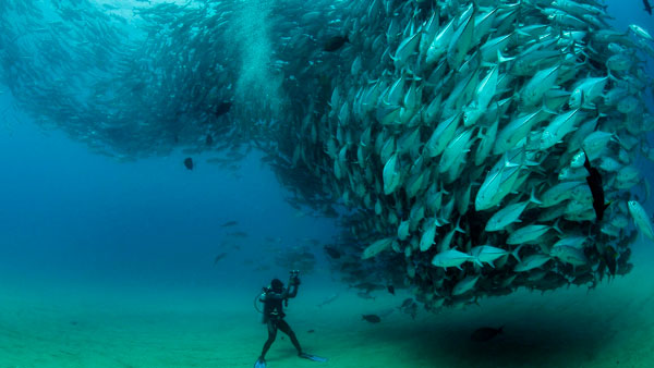 flying after diving - tuna shoal