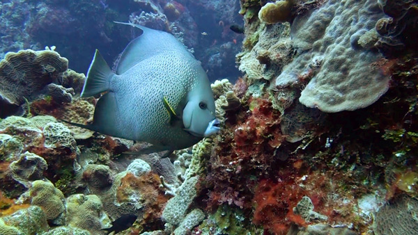 Palancar Reef - Grey angelfish