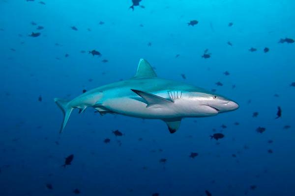 maldives liveaboard diving - Shark
