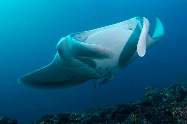 maldives liveaboard diving - manta