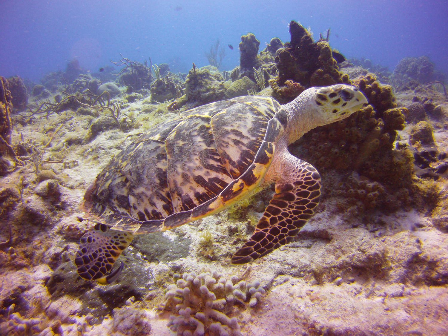 best cruise ship stops for scuba diving in the Caribbean Cozumel turtle