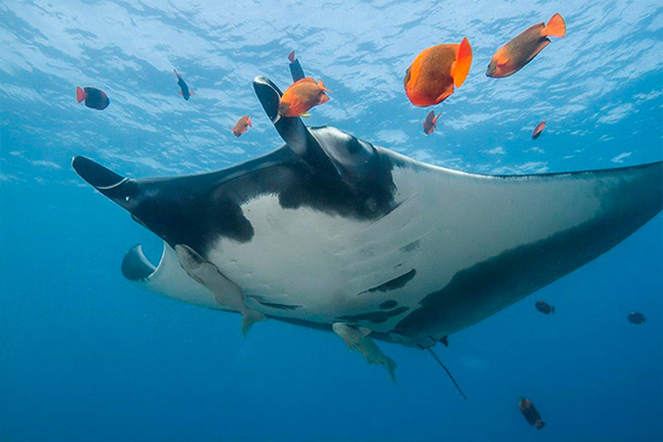 socorro liveaboard diving - manta